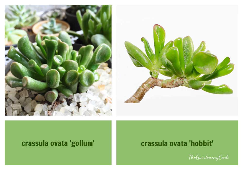 Crassula ovatum 'gollum' vs crassula ovata 'hobbit' in a collage.