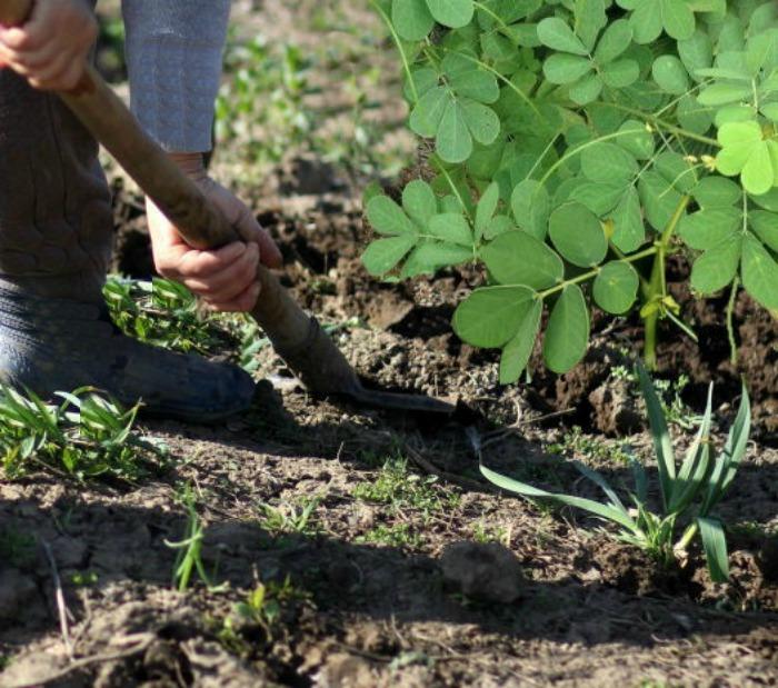 Digging sicklepod