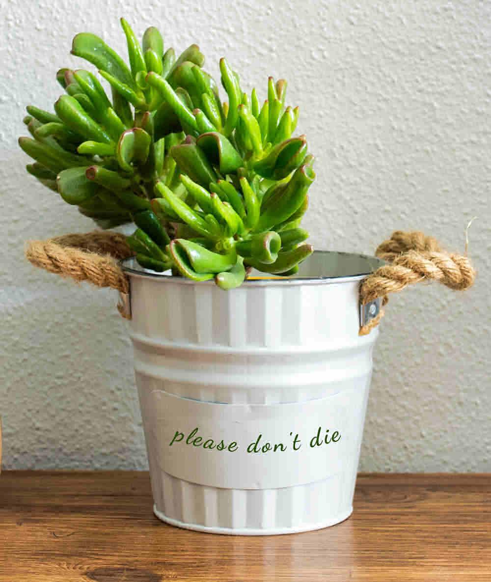 """Crassula ovata hobbit in a white pot with words """"please don't die"""""""