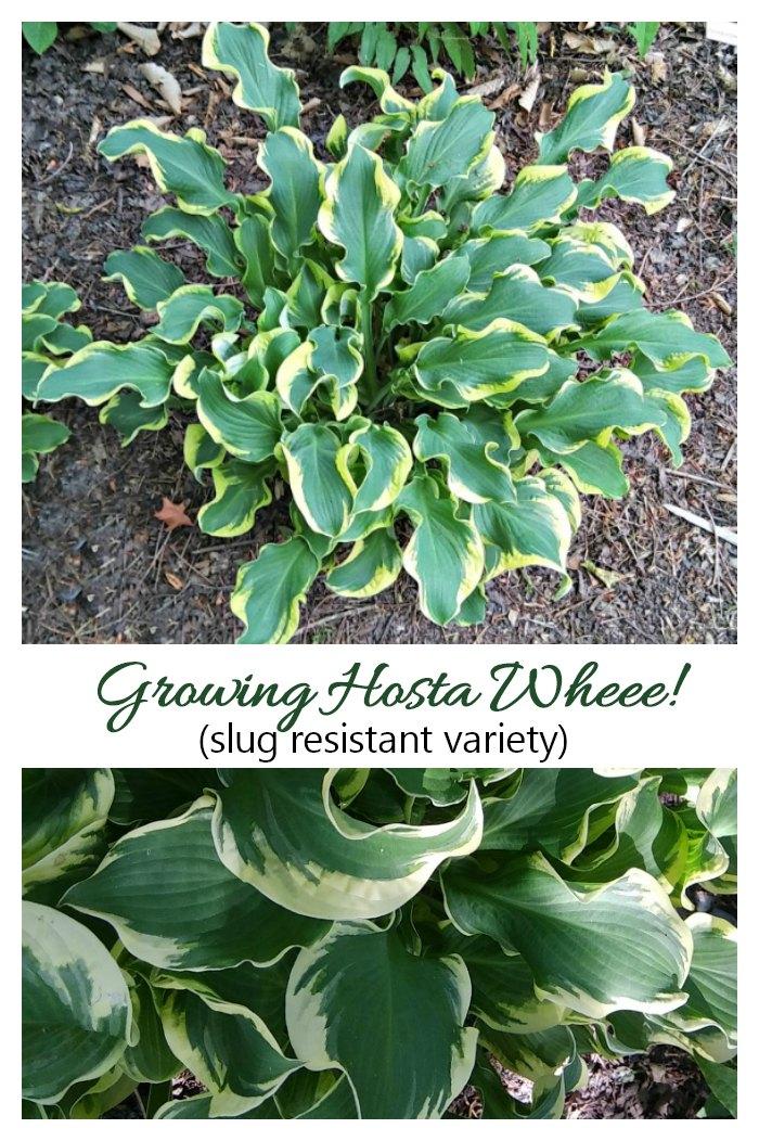 Growing hosta wheee!