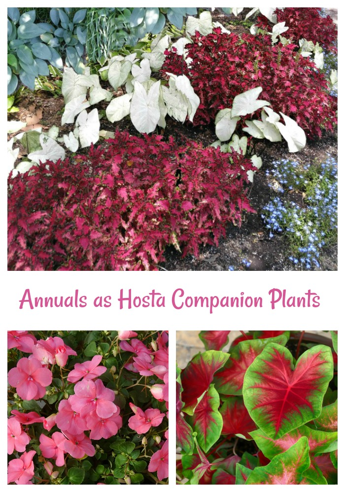 Annual plants and hostas as companions