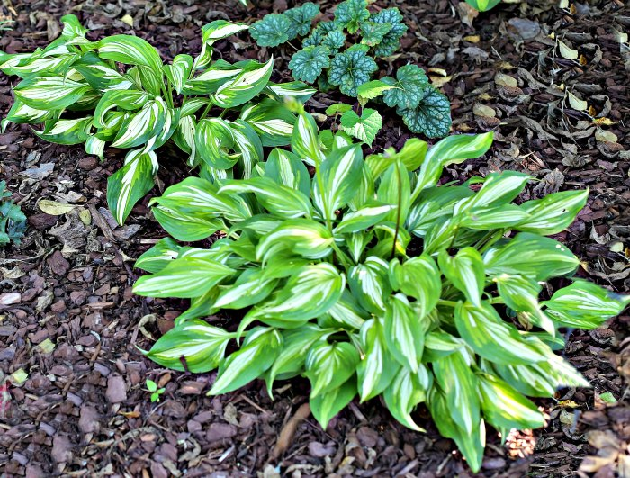 Hosta undulata plants