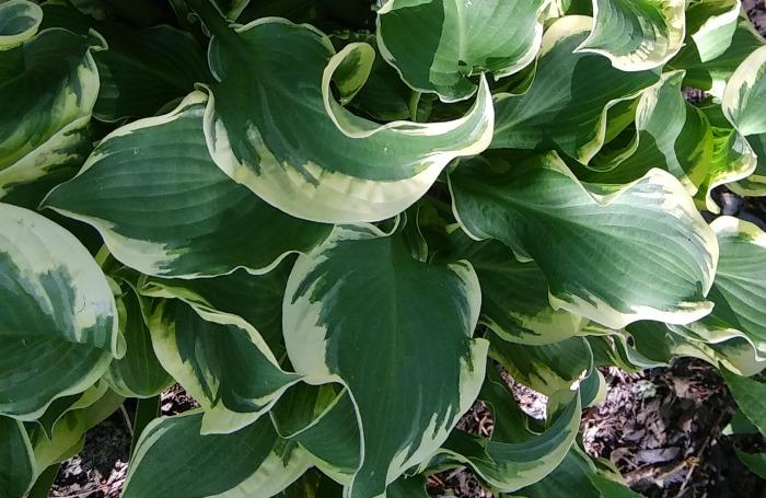 Hosta Wheee Variegated Slug Resistant Hosta Plant