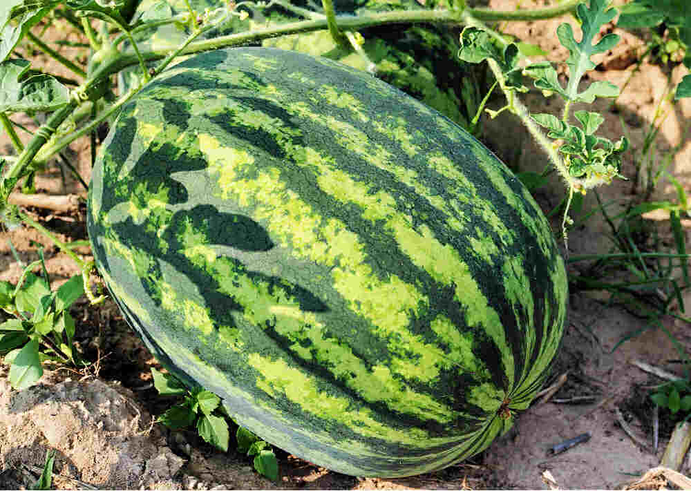 Large picnic watermelon.