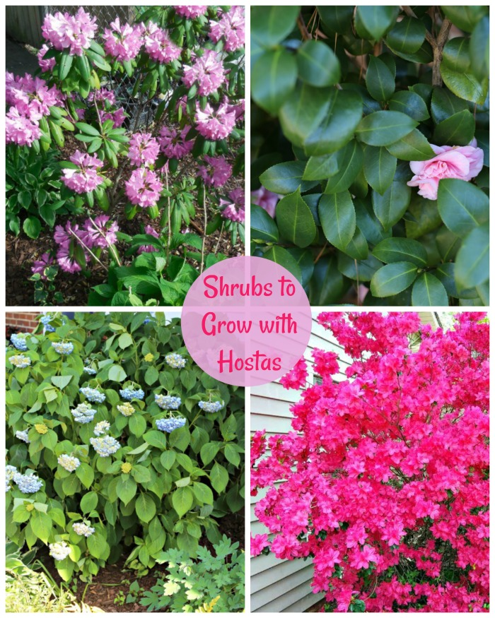 Shrubs to grow with Hostas