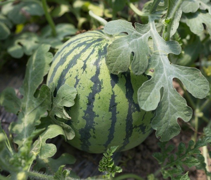 small watermelon plant