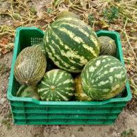 Types of watermelon in a square plastic bin in a field.