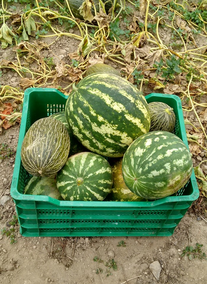 Watermelon varieties