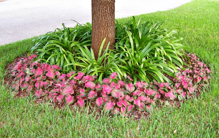 Caladiums around a garden bed