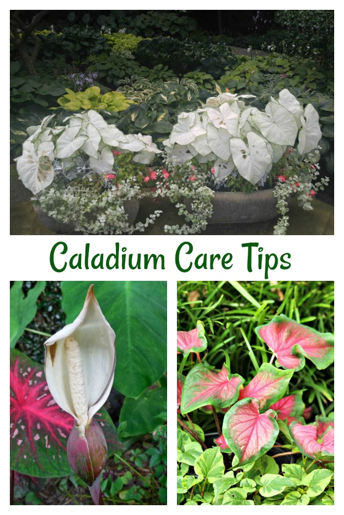 Get tips for the care of caladium plants