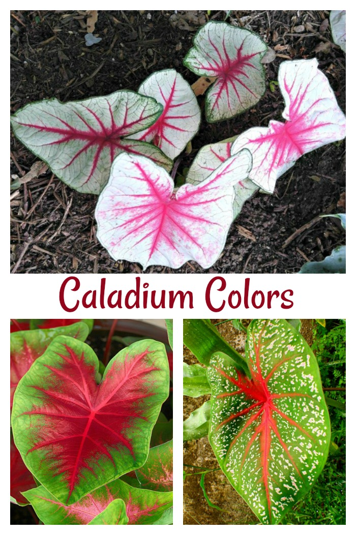 Colors of caladium foliage