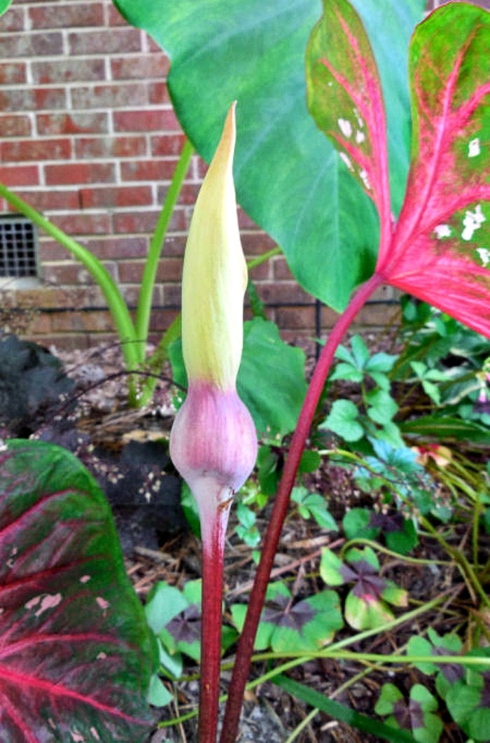 beginning of a caladium flower