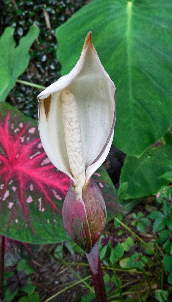 Caladium flower opened up