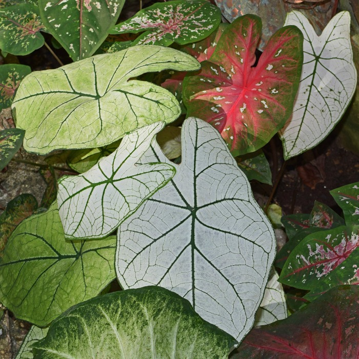 How to overwinter caladiums
