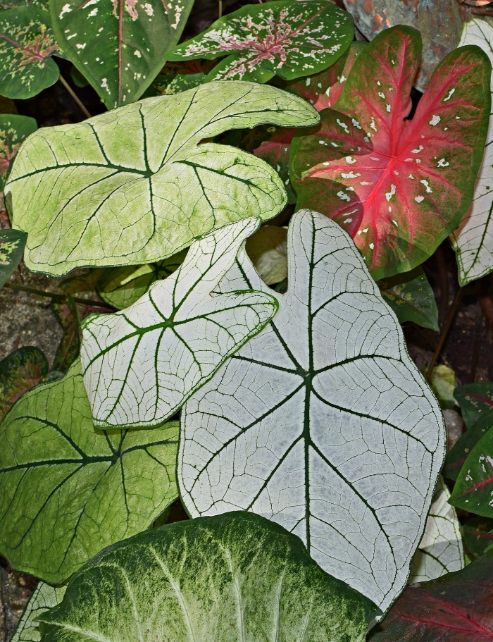 Pictures of caladiums - exotic tropical foliage