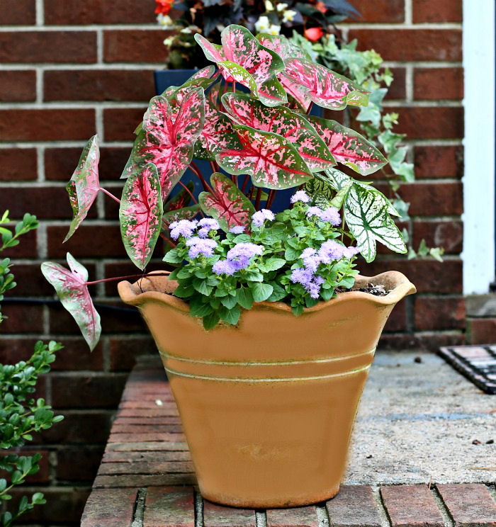 Caladiums in a terra cotta pot
