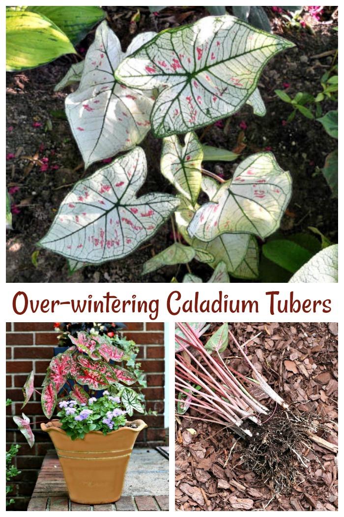 Overwintering caladium tubers