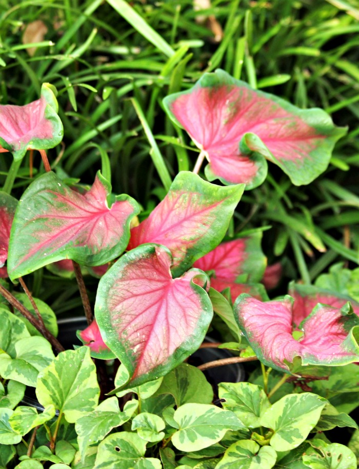 Green and red caladiums