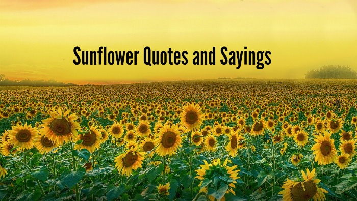 sunflower Quotes and sayings
