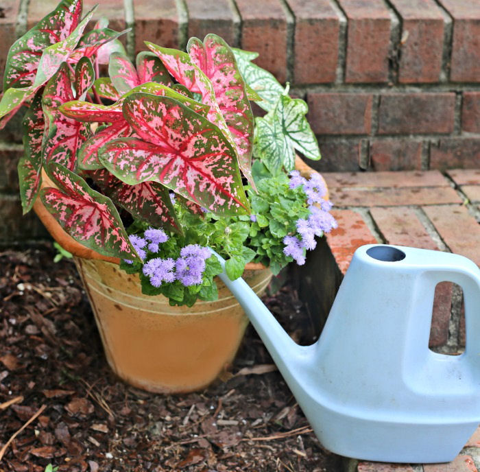 Care of Caladium plants - watering is important