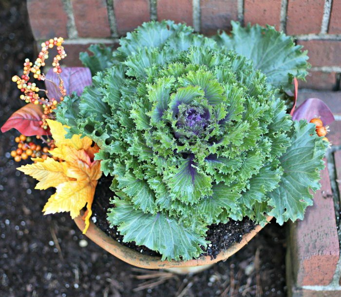 Huge flowering kale with fall decor