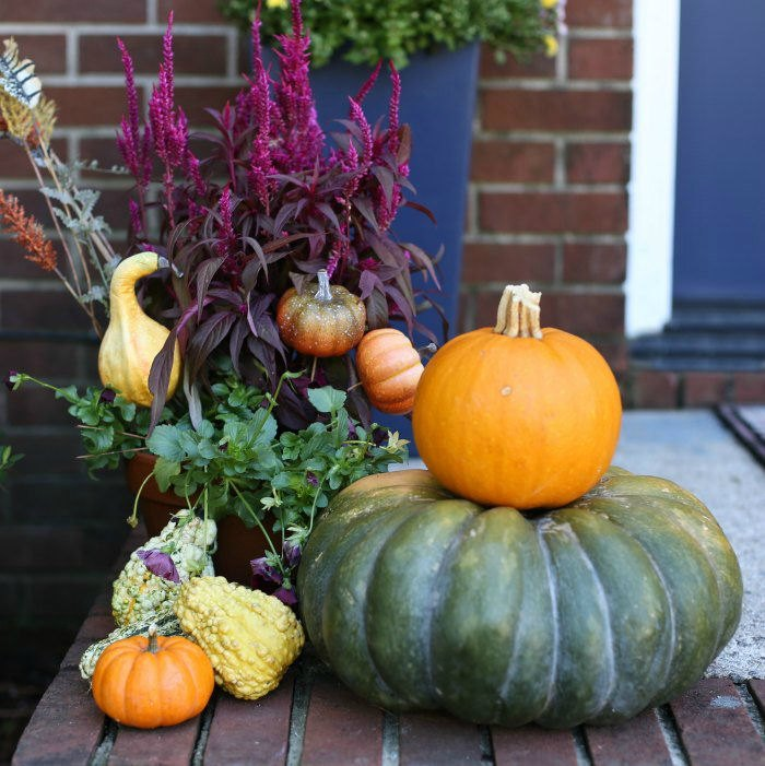 heirloom pumpkins gourds and celosia plant