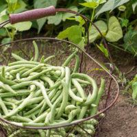 Basket of green beans in a garden.