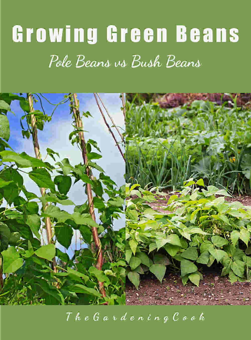Pole beans and bush beans in a collage with a green background and words Growing Green Beans - Pole Beans vs Bush Beans.