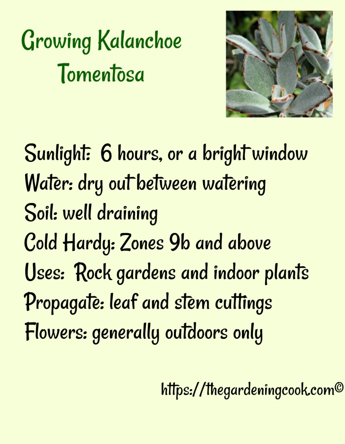 How to Grow Kalanchoe Tomentosa - Panda Plant Succulent