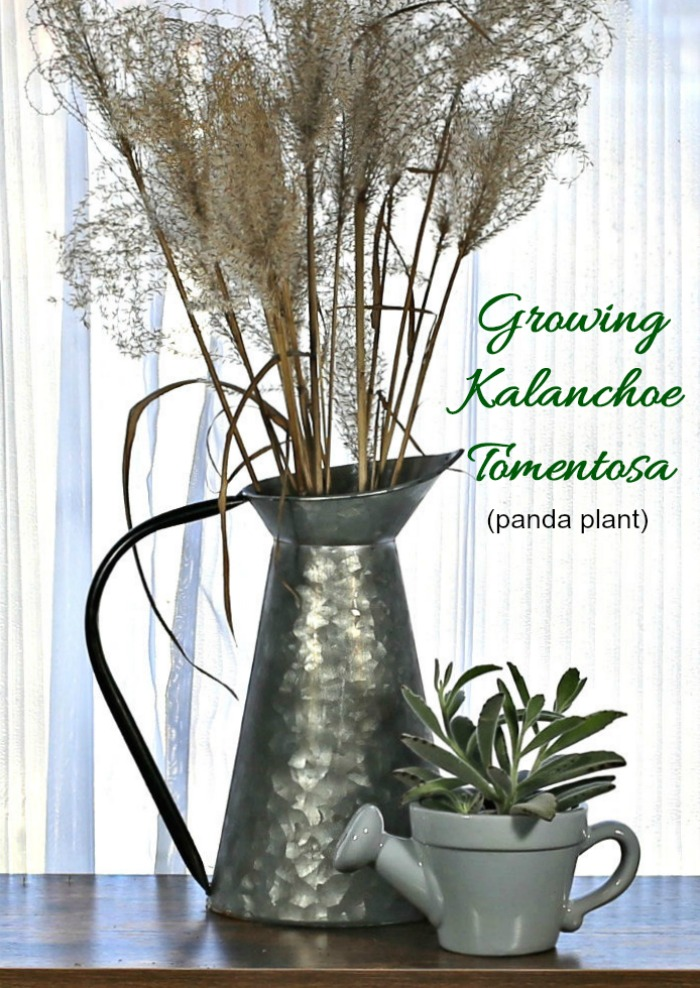 Kalanchoe Tomentosa and an urn with Japanese silver grass
