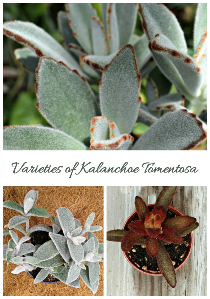Varieties of kalanchoe tomentosa
