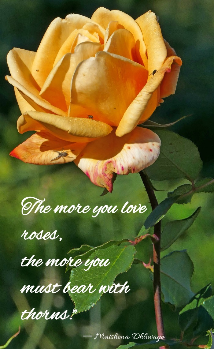 The more you love roses, the more you must bear with thorns ― quote by Matshona Dhliwayo