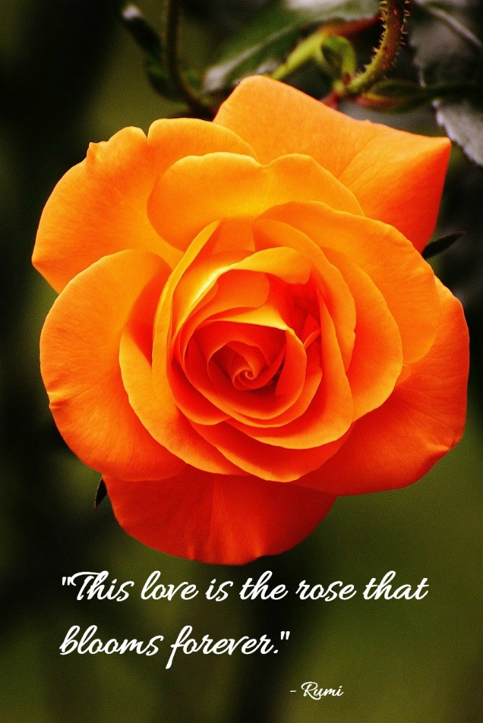 """This love is the rose that blooms forever."" - Rumi"