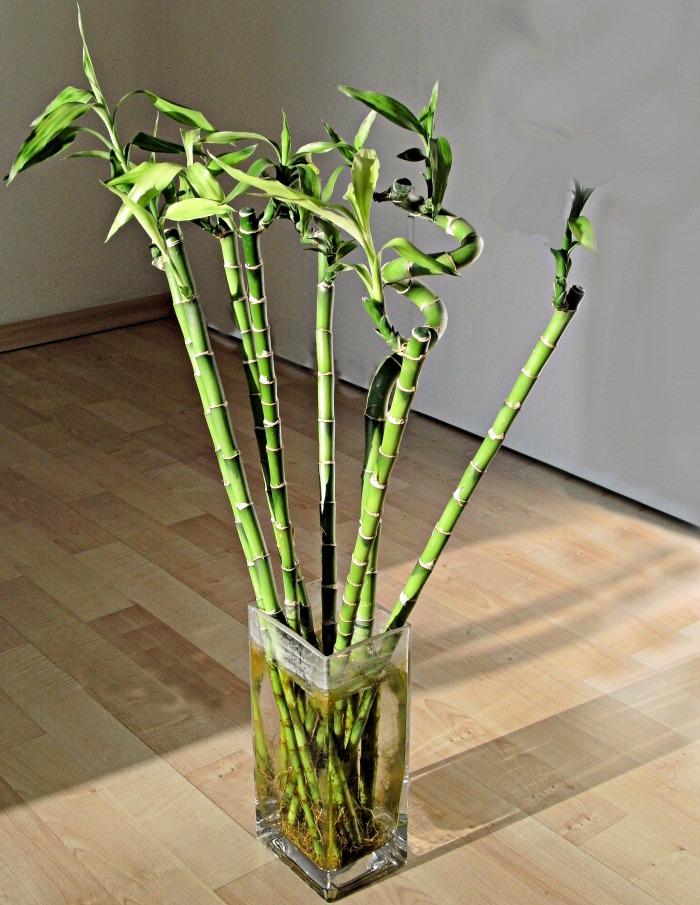 Dracaena Sanderiana shoots