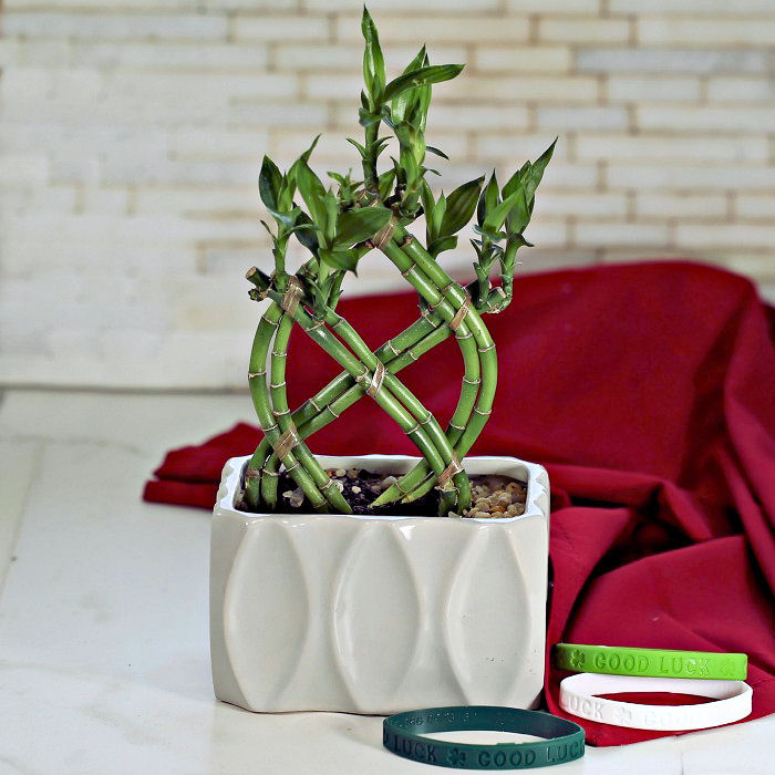 Lucky Bamboo Plant Growing Tips