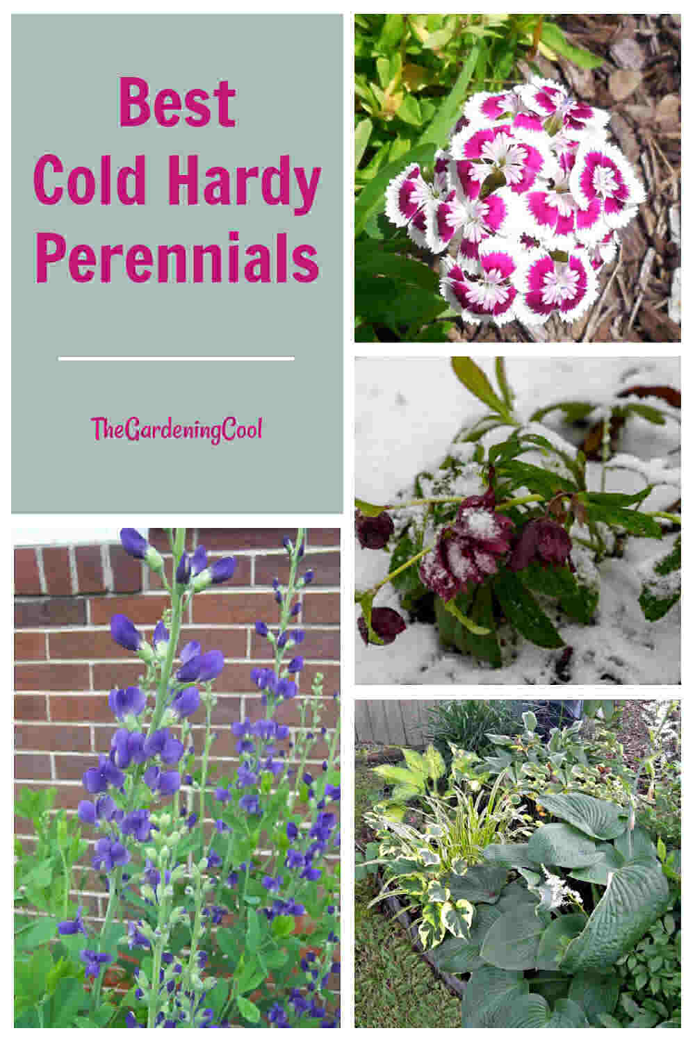 Sweet William, Baptisia, hellebore in snow and hostas with words Best Cold Hardy Perennials.