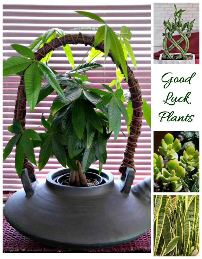 Braided money tree, lucky bamboo, snake plant and jade plant are all lucky plants