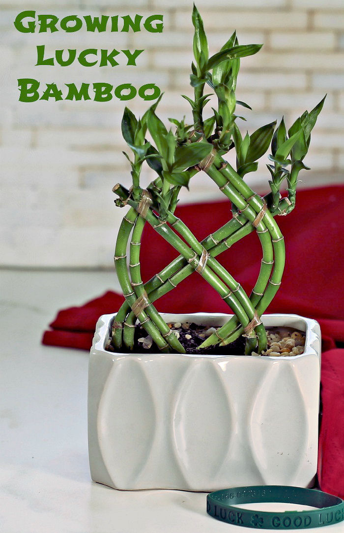 Lucky Bamboo Plant Growing Tips Dracaena Sanderiana Plant Care