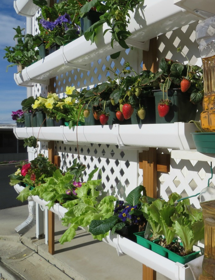 Gutter garden on a lattice wall