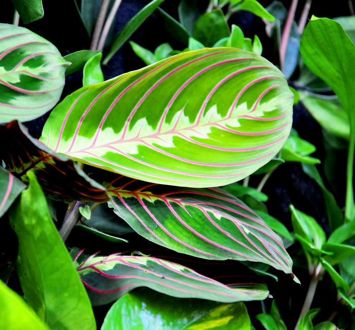 Maranta plant leaves