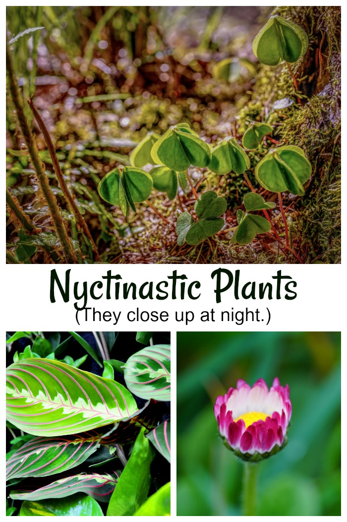 Nyctinastic plants are plants that close up at night