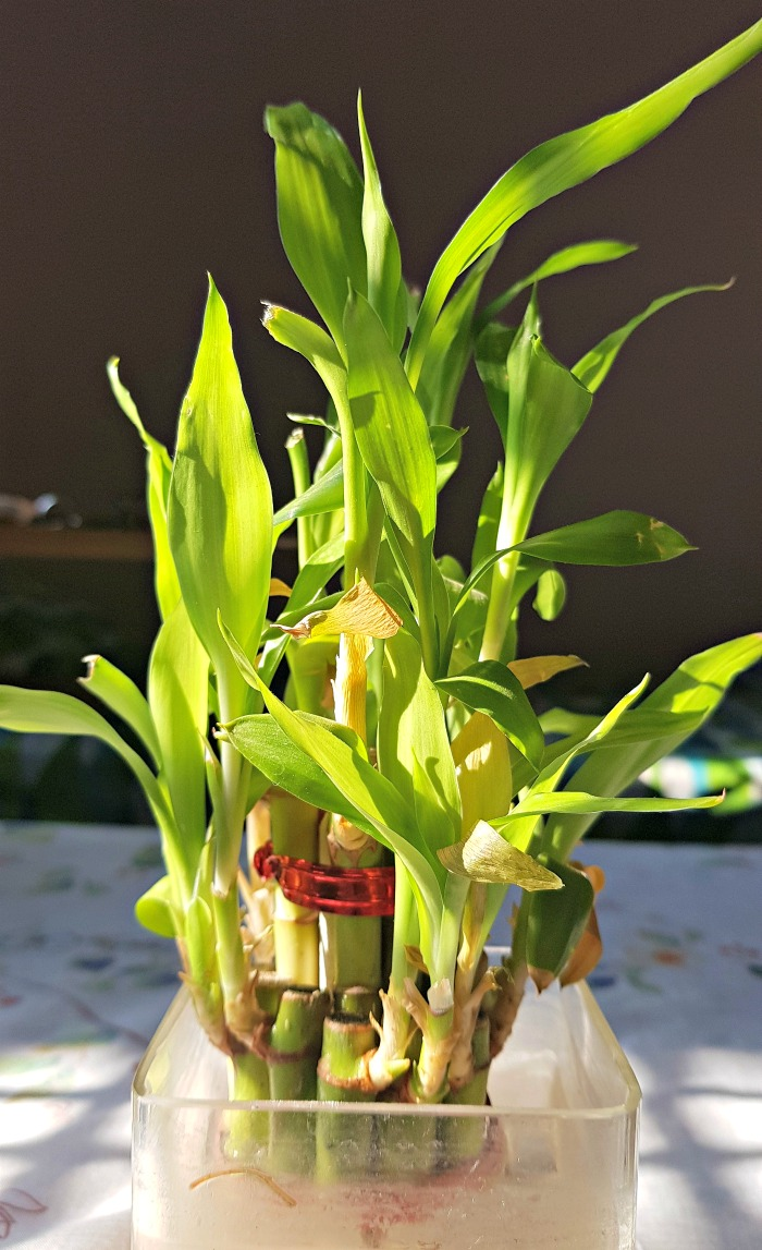 Growing lucky bamboo in water