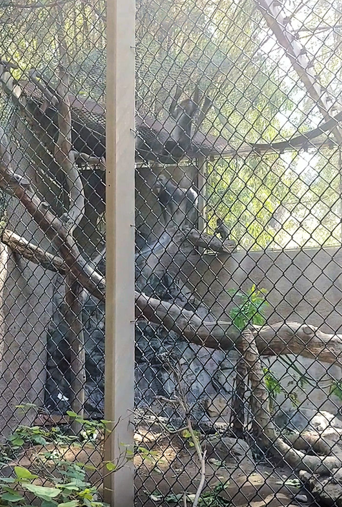 chimps playing at the LA zoo