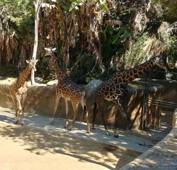 Giraffes at the LA Zoo and Botanical Gardens