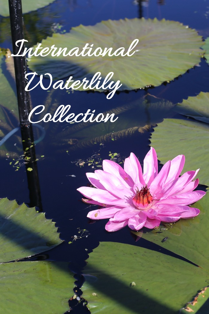 International Waterlily collection in San Angelo Texas