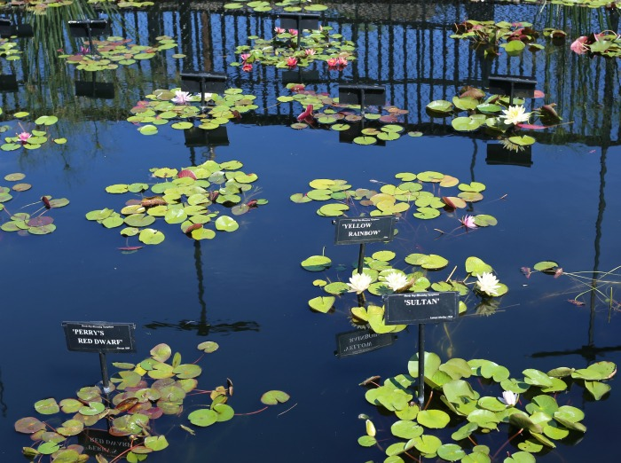 Labeled waterlilies