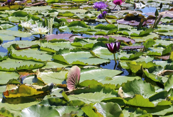 Masses of waterlilies