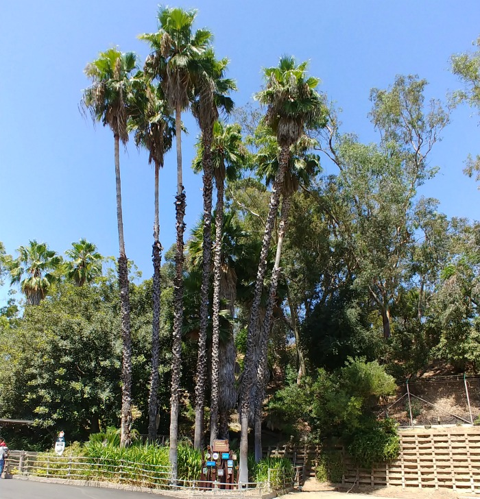 Tall palm trees at the Los Angeles Zoo and Botanical Gardens