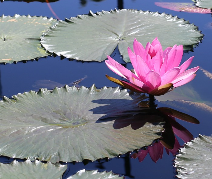 Pink waterlily with flat leaves