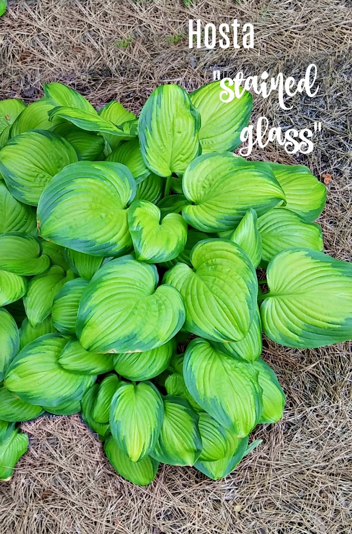Hosta Stained Glass is rabbit resistant and sun tolerant